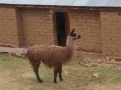 Love a llama